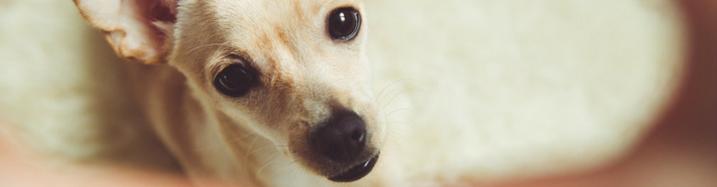 Can Dogs Spread COVID-19 Coronavirus?